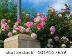 beautiful pale pink heritage...   Shutterstock . vector #1014527659
