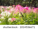 close up pink and white spider... | Shutterstock . vector #1014536671