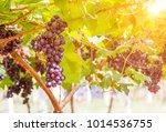 vine grape fruit plants... | Shutterstock . vector #1014536755