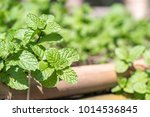 fresh peppermint plant grown in ... | Shutterstock . vector #1014536845
