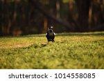 An Australian Magpie On Green...