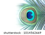 peacock feathers closeup on... | Shutterstock . vector #1014562669