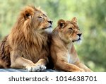 Stock photo pair of adult lions in zoological garden 1014638701
