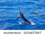 Marlin On A Lure