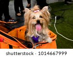 Small photo of My dog is hot until the tongue is hanging. (yorkshire terrier or yorkie) Tongue Tongue