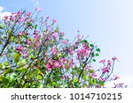 mountain ebony   orchid tree  ... | Shutterstock . vector #1014710215