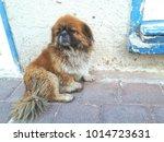 old pekingese dog sitting on...   Shutterstock . vector #1014723631