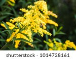bee collects nectar on a yellow ... | Shutterstock . vector #1014728161