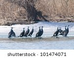 great cormorants in winter | Shutterstock . vector #101474071