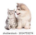 Stock photo alaskan malamute puppy and cat sittig in front view together isolated on white background 1014753274