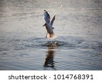 a beautiful seagull takes off... | Shutterstock . vector #1014768391