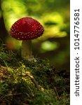 Small photo of Amanita Muscaria, poisonous mushroom