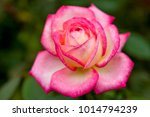 close up of rose flowers | Shutterstock . vector #1014794239