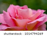 close up of rose flowers | Shutterstock . vector #1014794269