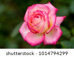 close up of rose flowers | Shutterstock . vector #1014794299