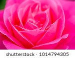 close up of rose flowers | Shutterstock . vector #1014794305