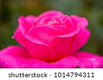 close up of rose flowers | Shutterstock . vector #1014794311