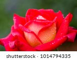 close up of rose flowers | Shutterstock . vector #1014794335
