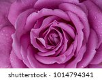 close up of rose flowers | Shutterstock . vector #1014794341