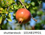 pomegranate on the tree  costa... | Shutterstock . vector #1014819931