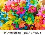 Rainbow Daisies. Chrysanthemum...