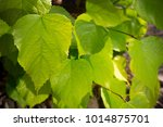 close up of leaves of linden...   Shutterstock . vector #1014875701