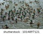 wild ducks swim in the lake ...   Shutterstock . vector #1014897121