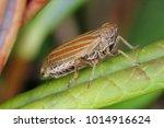 female of ommatidiotus... | Shutterstock . vector #1014916624