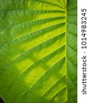 Small photo of The Pattern of Elephant Climber Striped Leaf Exposed to Sunlight
