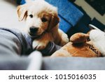 Stock photo curious little golden retriever puppy playing whit his favorite toy and his owner 1015016035