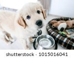 Stock photo cute golden retriever puppy asking for food with his puppy eyes 1015016041