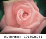 Beautiful Pink Rose In Soft...
