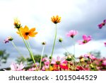 colorful cosmos field with blue ... | Shutterstock . vector #1015044529