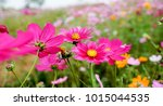 cosmos flowers blooming in the... | Shutterstock . vector #1015044535