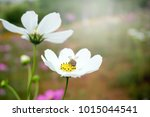 cosmos flowers blooming in the... | Shutterstock . vector #1015044541