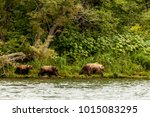 Small photo of Three brown bears (Ursus arctos beringianus) going along the river bank. Kamchatka Peninsula, Russia.