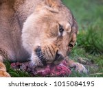 Asiatic Lion Eating Her Meal