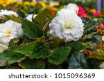 Flowering Plants Of White...