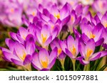 Crocus  Plural Crocuses Or...