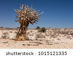 One Dead Quiver Tree In The...