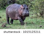 Hippo on the run on land in the ...