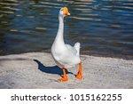 One Curious Goose