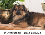 Pekingese Dog Laying