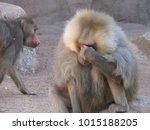 hamadryas baboons  papio... | Shutterstock . vector #1015188205