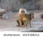hamadryas baboons  papio... | Shutterstock . vector #1015188211