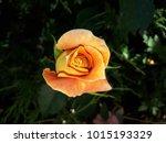 A beautiful orange rose. half...