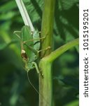 Small photo of Great green bush-cricket (Tettigonia wiridissima) male. Close up