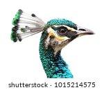 peafowl  peahen  female ... | Shutterstock . vector #1015214575