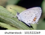 Small photo of Lycaeides butterfly resting on flower