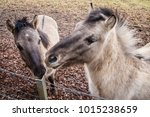 a hinny is a domestic equine... | Shutterstock . vector #1015238659